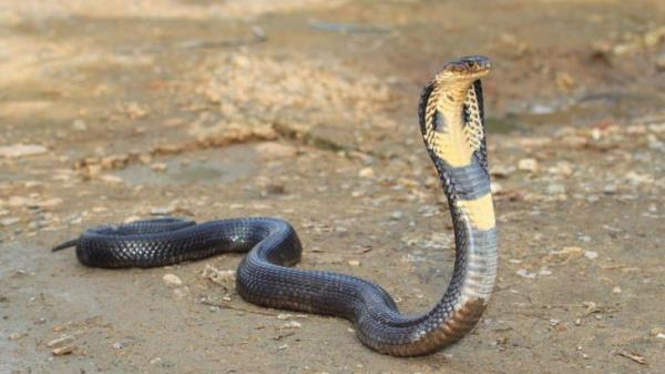 แอคคอร์ด งูเห่า