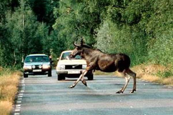 ขับรถด้วยความระมัดระวัง เมื่ออยู่ในเส้นทางมีสัตว์ป่าอยู่อาศัย