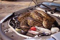 ทำไงดี รถคันนี้มีงูออกมา? ส่องสาเหตุและวิธีแก้เมื่องูเข้ารถ